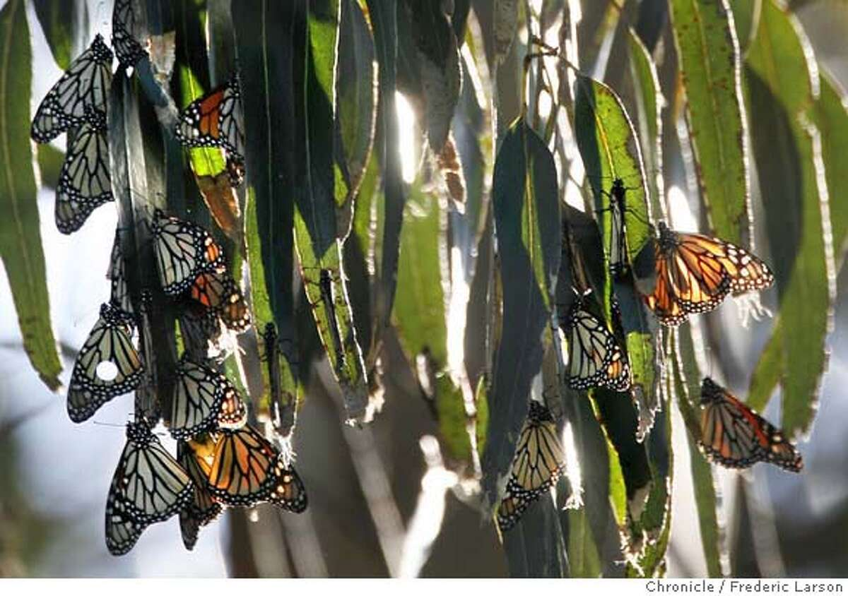 Pacific Grove is home to the Monarch Grove Sanctuary. Each winter, thousands of Monarch Butterflies cluster together on the pines and eucalyptus of the Sanctuary. Arriving in October, these hardy insects will over winter until February when they they mate just before St. Valentines day, then they will join the spring Monarch migration, spreading northward and eastward, hunting for milkweed plants on which to lay their eggs. Ran on: 02-15-2008 A monarch butterfly spreads its wings, above, in Pacific Grove. Below, butterflies cluster on eucalyptus trees. Ran on: 02-15-2008 Ran on: 02-15-2008