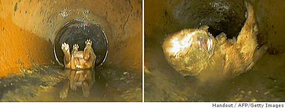 A combination of CCTV handout images obtained on June 15, 2009, in London shows a puppy called Dyno stuck in a drain after being flushed down the toilet. A puppy in Britain had a lucky escape after a four-year-old boy accidentally flushed it down the toilet when he was trying to wash it, the Daily Mirror newspaper reported Monday. The week-old cocker spaniel's young owner, Daniel Blair, thought the puppy needed a wash after it got muddy playing in the garden, so he put it in the toilet and flushed it. AFP PHOTO/BRITISH GAS/HANDOUT/NO SALES/RESTRICTED FOR EDITORIAL USE (Photo credit should read HANDOUT/AFP/Getty Images) Photo: Handout, AFP/Getty Images