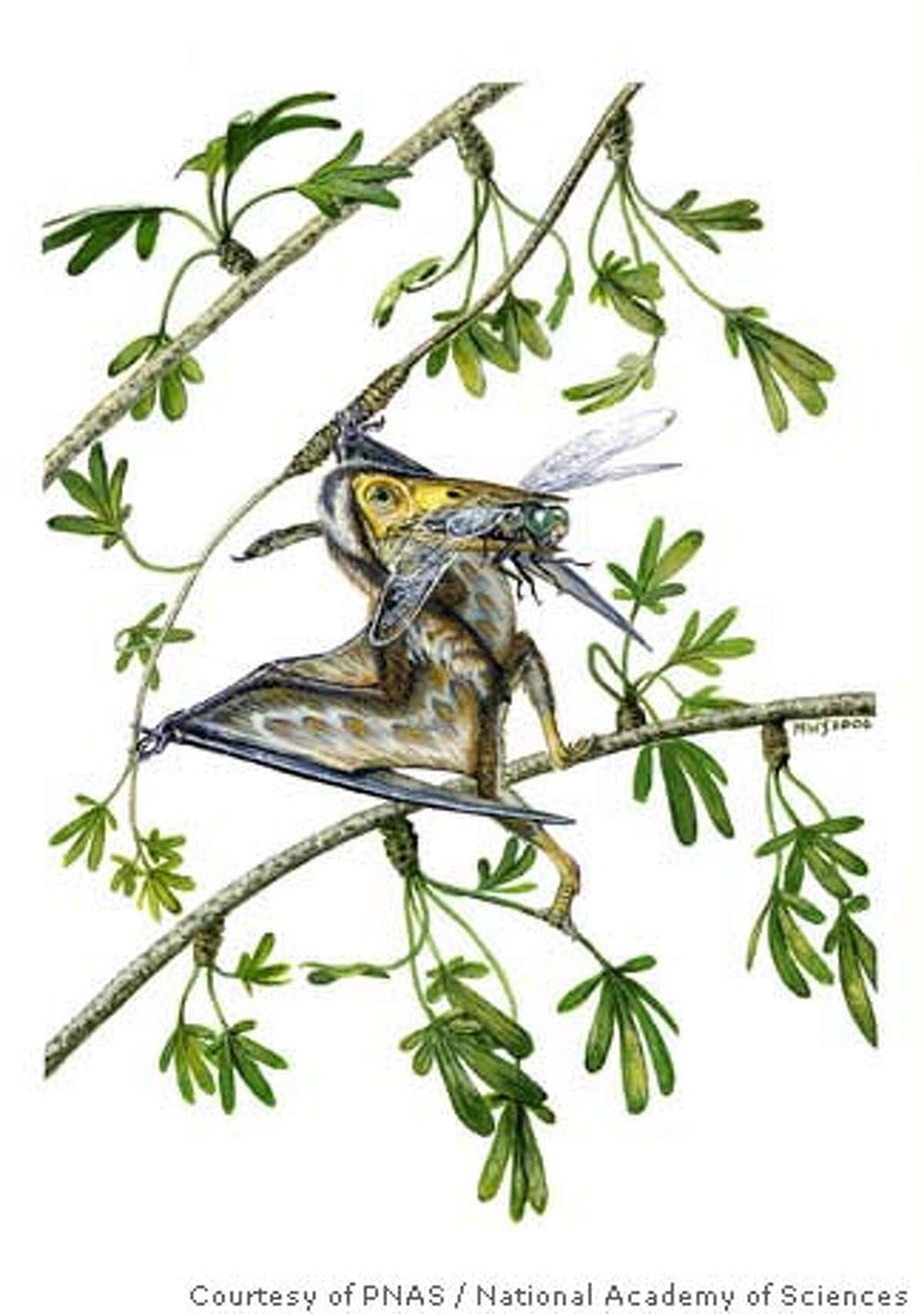 ** EMBARGOED UNTIL 5:00 P.M., MONDAY, FEB. 11 ** This undated handout artist rendering provided by the PNAS/National Academy of Sciences shows a life reconstruction of Nemicolopterus crypticus, a small derived flying reptile that lived in the gingko forests that existed some 120 million years ago in present China. As pterodactyls go it was small, toothless and had unexpectedly curved toes _ yet scientists are welcoming their new find as another piece in the puzzle of ancient life. (AP Photo/PNAS/National Academy of Sciences, Michael Skrepnickaption) Image courtesy of PNAS/National Academy of Sciences (copyright 2008). EMBARGOED UNTIL 5:00 PM, MONDAY, FEB. 11 / UNDATED HANDOUT ARTIST RENDERING PROVIDED BY PNAS/NATIONAL ACADEMY OF SCIENCES / NO SALES