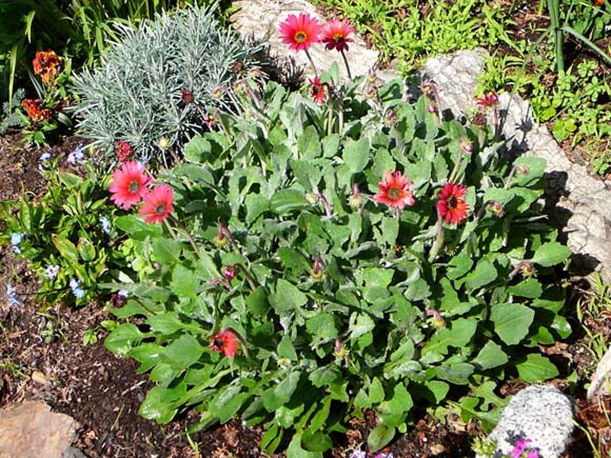 Common name: African Daisy Genus/species: Arctotis hybrida Family: Asteraceae