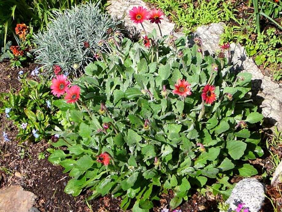 Common name: African Daisy  Genus/species: Arctotis hybrida  Family: Asteraceae Photo: Handout