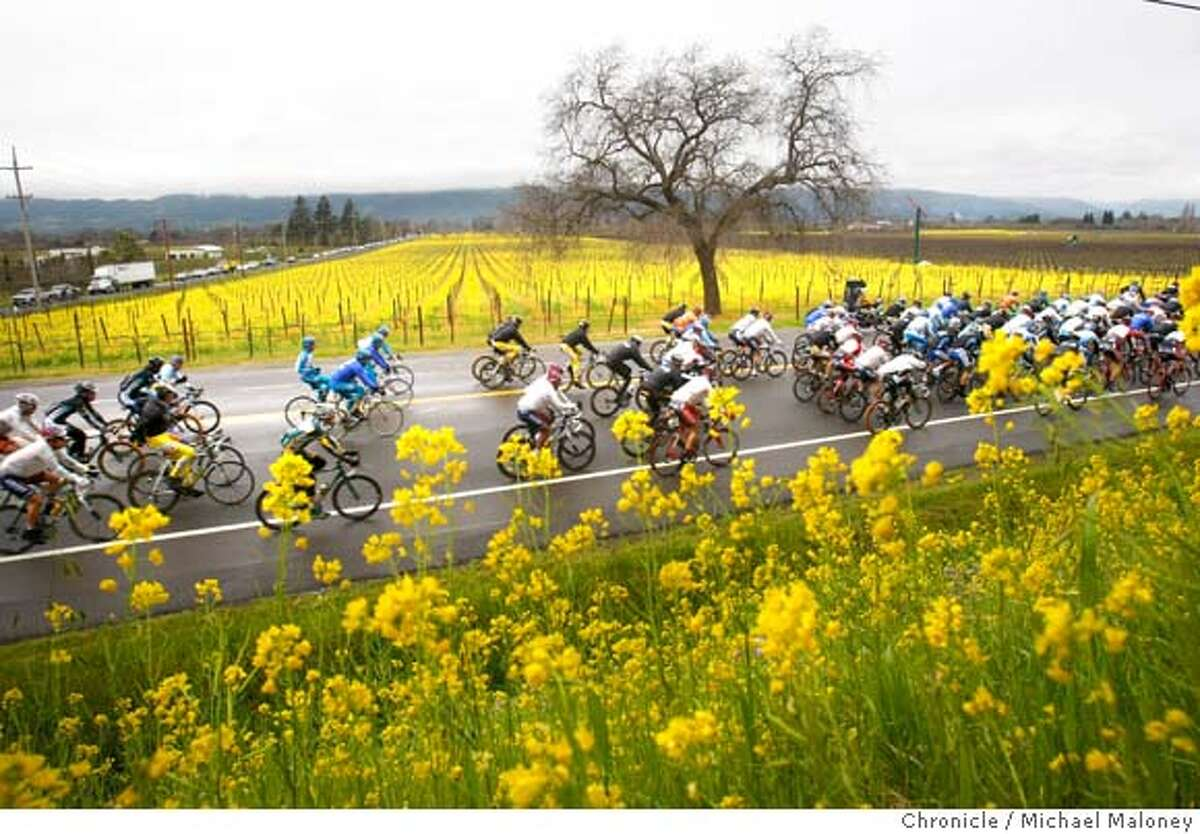 The colorful peloton pedals on the Silverado Trail past the mustard covered vineyards near Oakville, CA in the Napa Valley on February 19, 2008. Stage 2 of the Amgen Tour of California pro bicycle race took the riders on a 115.8 mile route from Santa Rosa to Sacramento. Photo by Michael Maloney / The Chronicle