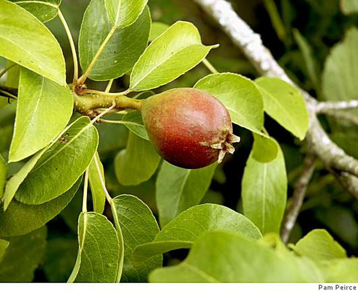 By June, a bearing tree should have developing fruit, like this 1�-inch-long pear.Photo by Pam Peirce / Special to The Chronicle