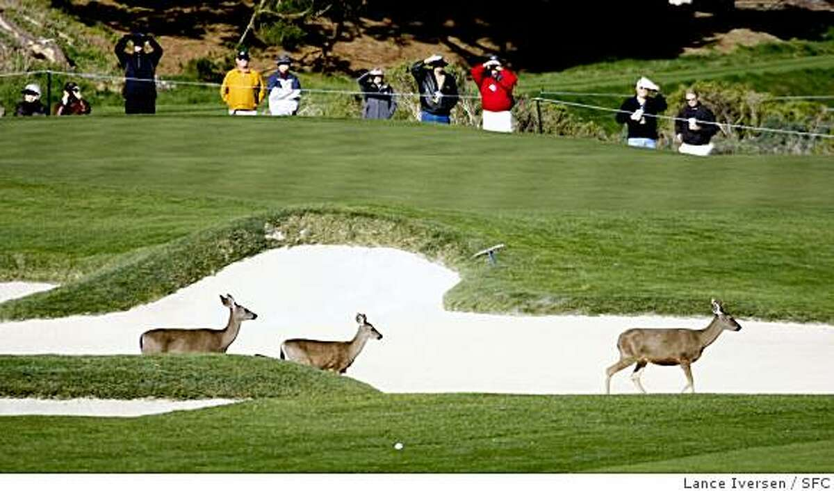 Deer scamper through the sand traps in front of the 1st green at Spy Glass Hill Friday morning. The second round of the annual AT&T Pebble Beach National Pro-Am got under way with a number of new names leading the tournament. By Lance Iversen/The Chronicle
