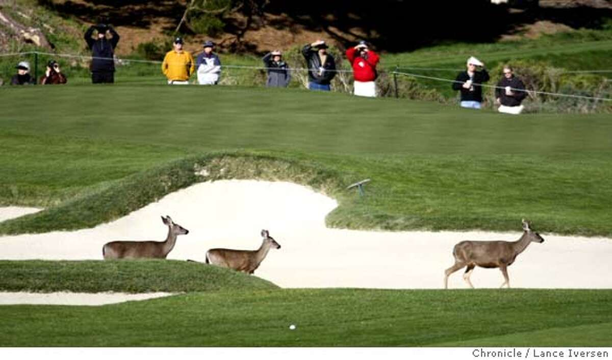 Deer scamper through the sand traps in front of the 1st green at Spyglass Hill Friday morning. The second round of the annual AT&T Pebble Beach National Pro-Am got under way with a number of new names leading the tournament. By Lance Iversen/The Chronicle MANDATORY CREDIT PHOTOG AND SAN FRANCISCO CHRONICLE/NO SALES MAGS OUT