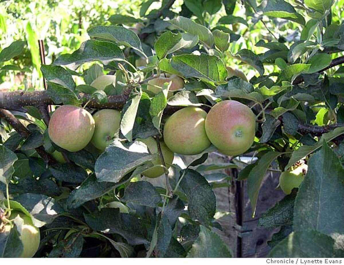 Gala apples on tree