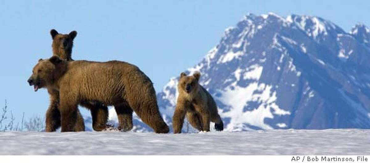 ** FOR IMMEDIATE RELEASE ** ** FILE ** A brown bear and her cubs travel down the snow and ice-laden Copper River near Cordova, Alaska, in this May 18, 2007 file photo. (AP Photo/Bob Martinson, File) A MAY 18, 2007 FILE PHOTO.