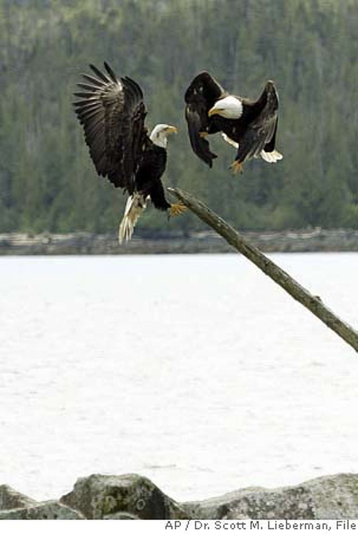 ** FOR IMMEDIATE RELEASE ** ** FILE ** Two bald eagles vie for a perch in Ketchikan, Alaska, in this June 6, 2006 file photo. (AP Photo/Dr. Scott M. Lieberman, File) A JUNE 6, 2006 FILE PHOTO.