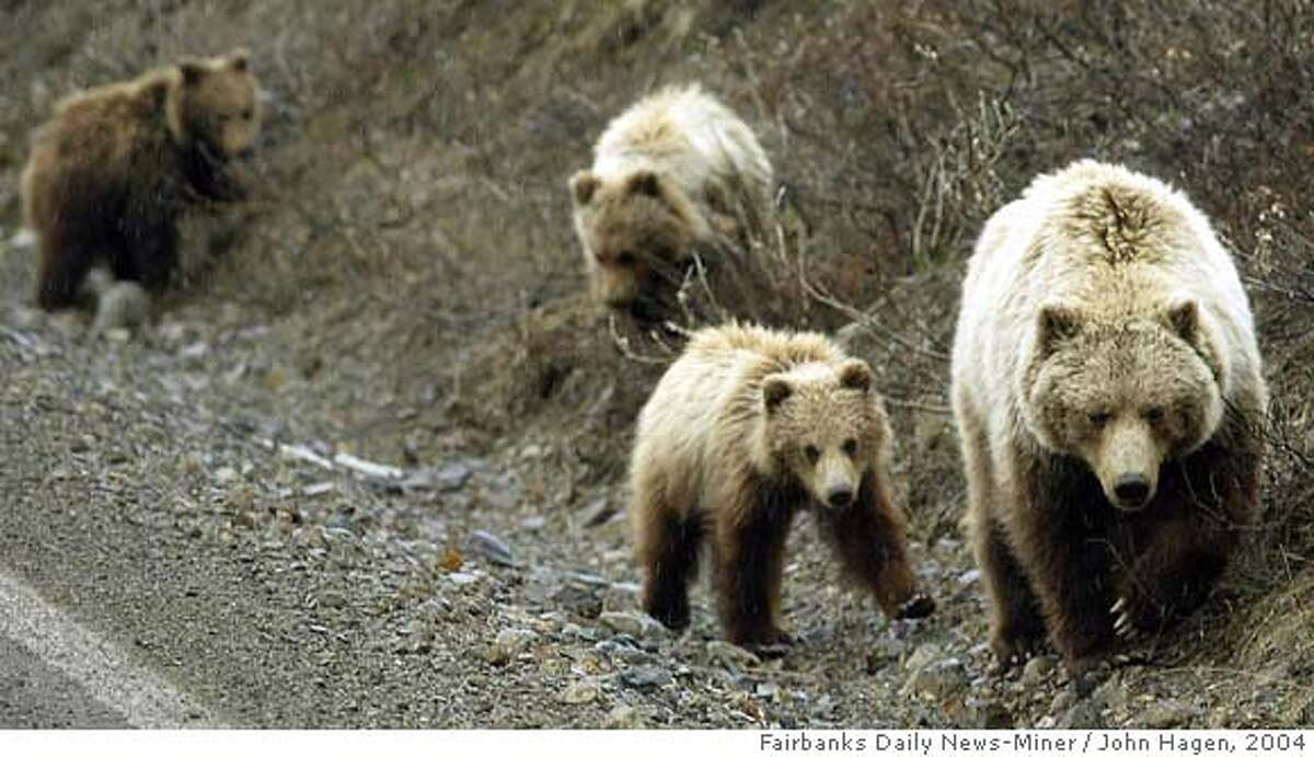 ** FOR IMMEDIATE RELEASE ** ** FILE ** A sow brown bear with three cubs walks along the Denali Park Road in Denali National Park and Preserve in Alaska in this May 25, 2004 file photo. (AP Photo/Fairbanks Daily News-Miner, John Hagen) ** MANDATORY CREDIT ** A MAY 25, 2004 FILE PHOTO. NO SALES. MANDATORY CREDIT.
