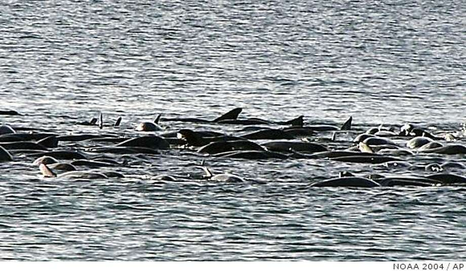 This image provided by the National Oceanic and Atmospheric Administration shows melon-headed whales stranded in Hanalei Bay off the Hawaiian island of Kauai July 2, 2004. For the first time, the Navy will lower the power of its sonar during maritime exercises off Hawaii this summer as part of an effort to protect marine mammals. The move comes two years after more than 150 melon-headed whales became stranded in a Kauai bay while the last Rim of the Pacific exercises were held.(AP Photo/National Oceanic and Atmospheric Administration, File) Photo: NOAA 2004, AP