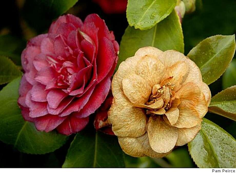 Camellias with flower blight start with darkened veins, which turn light brown, then later turn dark brown. Photo: Pam Peirce