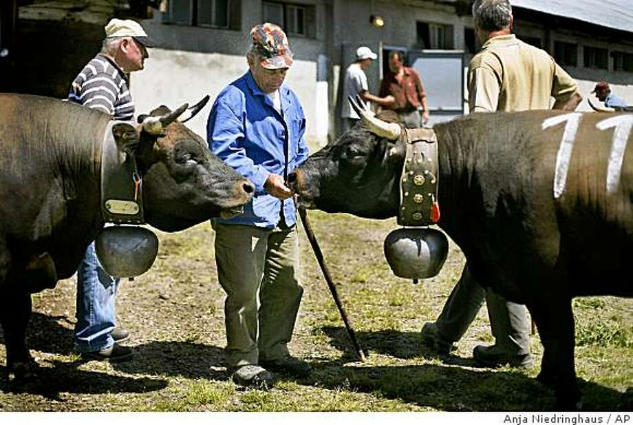Villagers tend to their cows after the battle to be queen for a year in the Swiss Alps in Grimetz, Sunday, June 14, 2009. Judges record every fight as spectators sit on the surrounding mountainside, sipping local wine and cheering their family herd. But it is the cows who choose who to fight and, ultimately, who will reign supreme at the end of the season. (AP Photo/Anja Niedringhaus) Photo: Anja Niedringhaus, AP