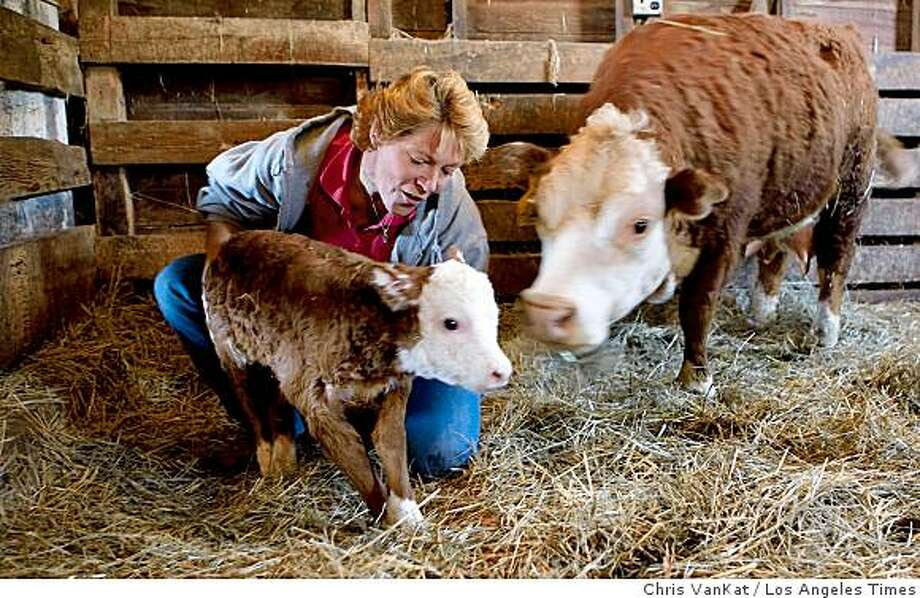 MINIATURE COWS: Rancher Ali Petersen of Tekamah, Neb., helps a mini Hereford calf take its first step eight hours after it was born. Illustrates MINIATURE-COWS (category a) by P.J. Huffstutter (c) 2009, Los Angeles Times. Moved Friday, May 29, 2009. (MUST CREDIT: Photo for the Los Angeles Times by Chris VanKat.) Rancher Ali Petersen of Tekamah, Neb., helps a mini Hereford calf take its first step eight hours after it was born. Illustrates MINIATURE-COWS (category a) by P.J. Huffstutter (c) 2009, Los Angeles Times. Moved Friday, May 29, 2009. (MUST CREDIT: Photo for the Los Angeles Times by Chris VanKat.) Photo: Chris VanKat, Los Angeles Times