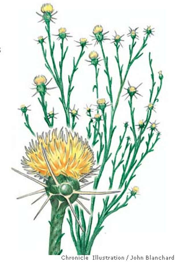The yellow starthistle, Centaurea solstitialis is a menace to state's flora and fauna. Chronicle illustration by John Blanchard