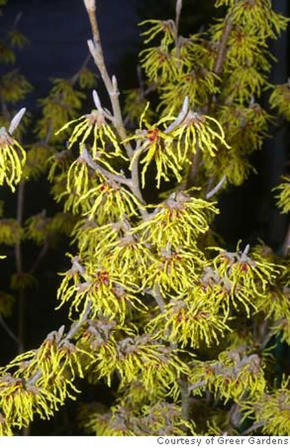 Pick Witch Hazel 1 of 2 possible photos. Hamamelis : Caption: H. intermedia variety Arnold Promise (yellow), Credit MUST courtesy Greer Gardens. For Erle Nickel story Photo: Greer Gardens