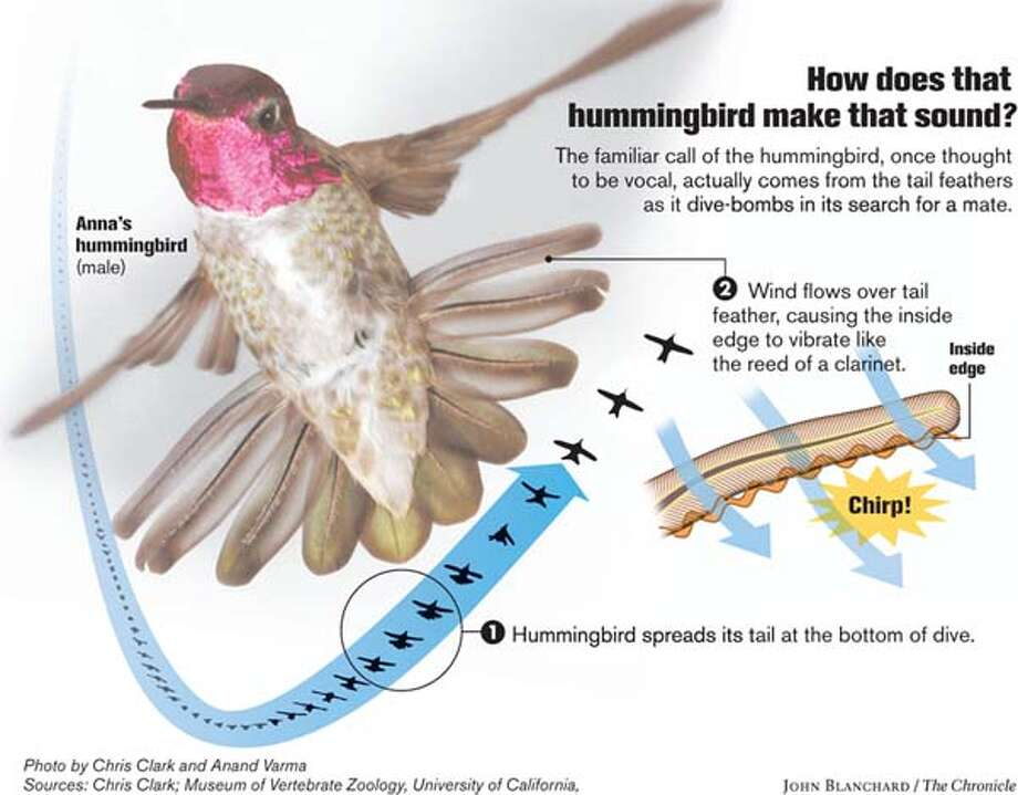 How do those hummingbirds make that sound? Chronicle graphic by John Blanchard