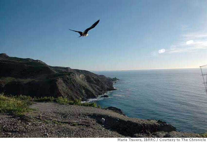 The tropical frigate bird that blew off course and ended up in Healdsburg was successfully released Monday, February 4, 2008 from Catalina Island. Marie Travers / IBRRC / Courtesy to The Chronicle Ran on: 02-08-2008 Freedom the frigatebird takes to the air over Catalina Island in Southern California after bird rehabilitators released him. Ran on: 02-08-2008 Ran on: 02-08-2008
