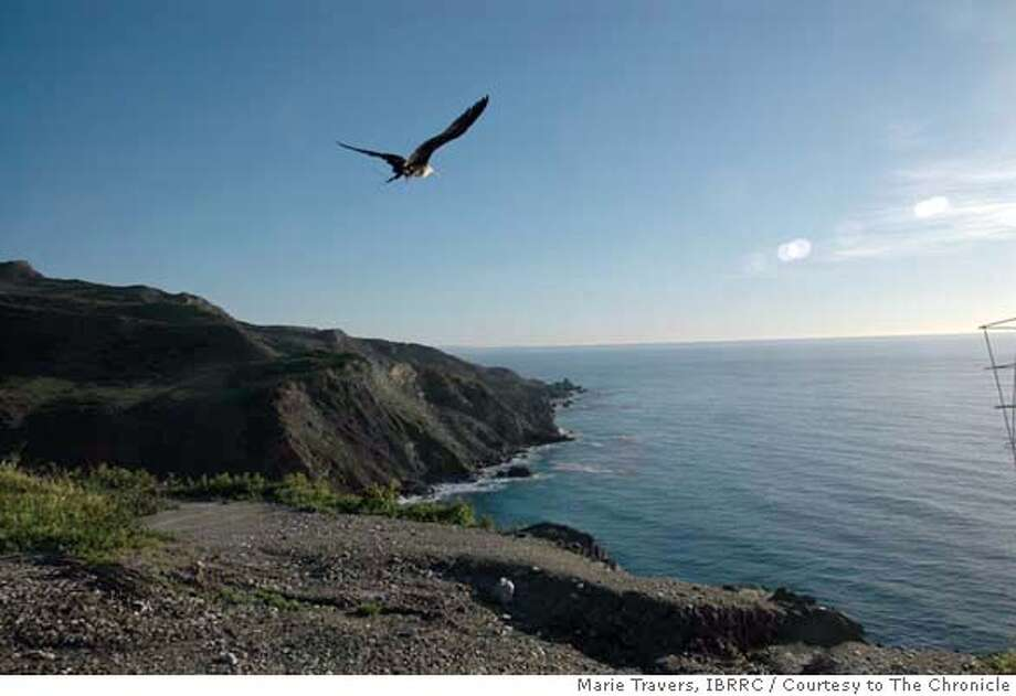 The tropical frigate bird that blew off course and ended up in Healdsburg was successfully released Monday, February 4, 2008 from Catalina Island. Marie Travers / IBRRC / Courtesy to The Chronicle Ran on: 02-08-2008  Freedom the frigatebird takes to the air over Catalina Island in Southern California after bird rehabilitators released him.  Ran on: 02-08-2008 Ran on: 02-08-2008 Photo: Marie Travers / IBRRC
