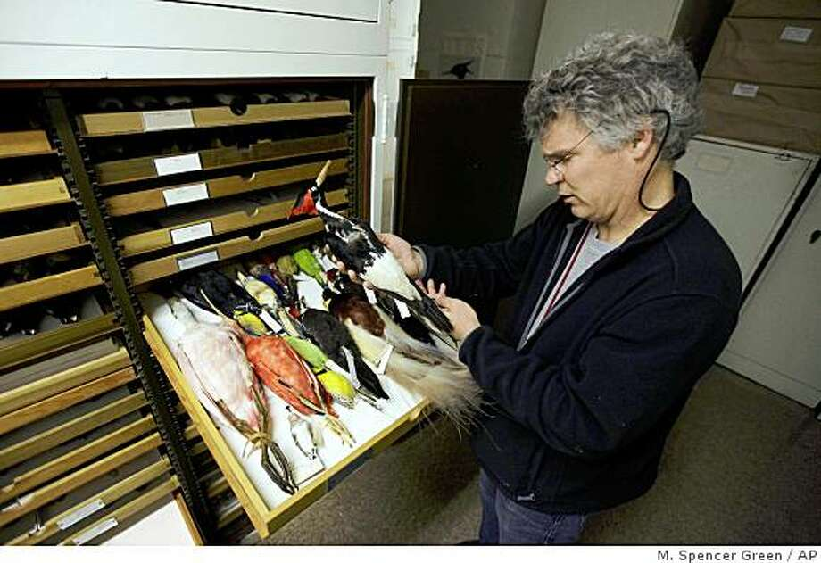**ADVANCE FOR SUNDAY JUNE 14 ** In this photo taken Thursday, June 11, 2009, John Bates, an ornithologist at Chicago's Field Museum, inspects an ivory-billed woodpecker that is part of the Field's collection of over 480,000 birds. Tissue and goose feathers from the Field Museum's collection of 2,700 Canada geese were sent to Washington to help ascertain what type of geese slammed into US Airways Flight 1549 over New York shredding the jetliner's engines and forcing it to ditch in the Hudson River earlier this year. (AP Photo/M. Spencer Green) Photo: M. Spencer Green, AP