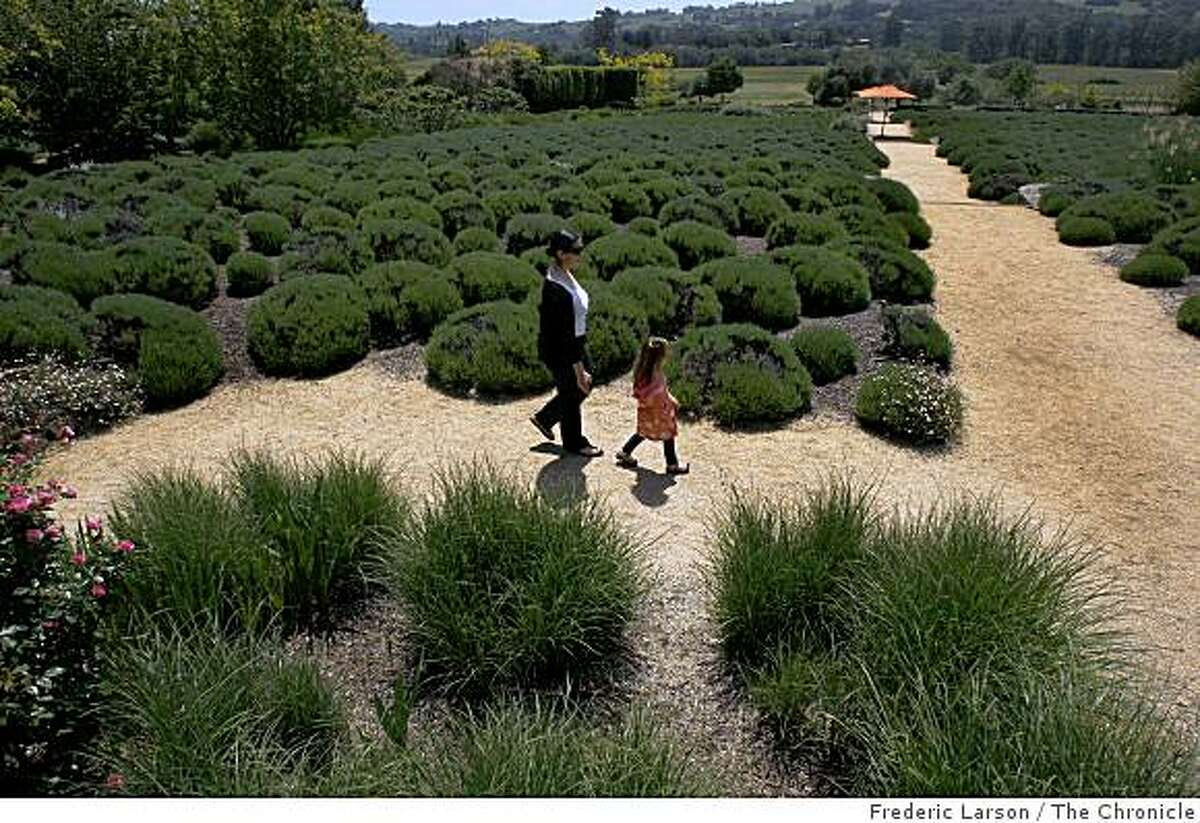 Early June is when the lavender flowers are in bloom at the Matanzas Creek Lavender Garden in Santa Rosa California.