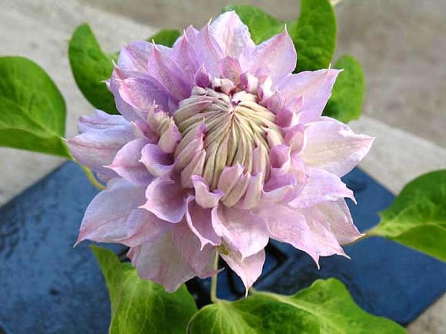 Credit: Alice Joyce. Full botanical name is Clematis 'Belle of Woking.' Photo: Alice Joyce