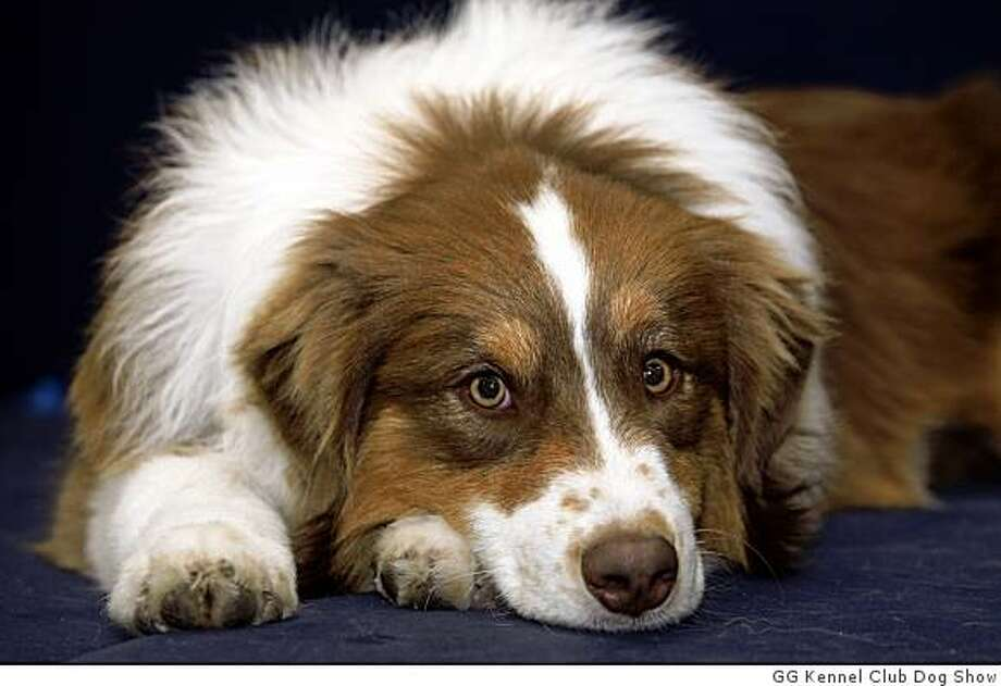 Australian Shepherd Golden Gate Kennel Club Dog Show Jan 26-27, 2008 Cow Palace Photo: GG Kennel Club Dog Show