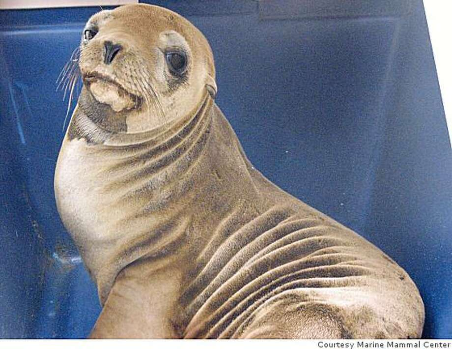 Moody the sea lion, rescued from the Richmond Parkway on May 21. Photo: Courtesy Marine Mammal Center