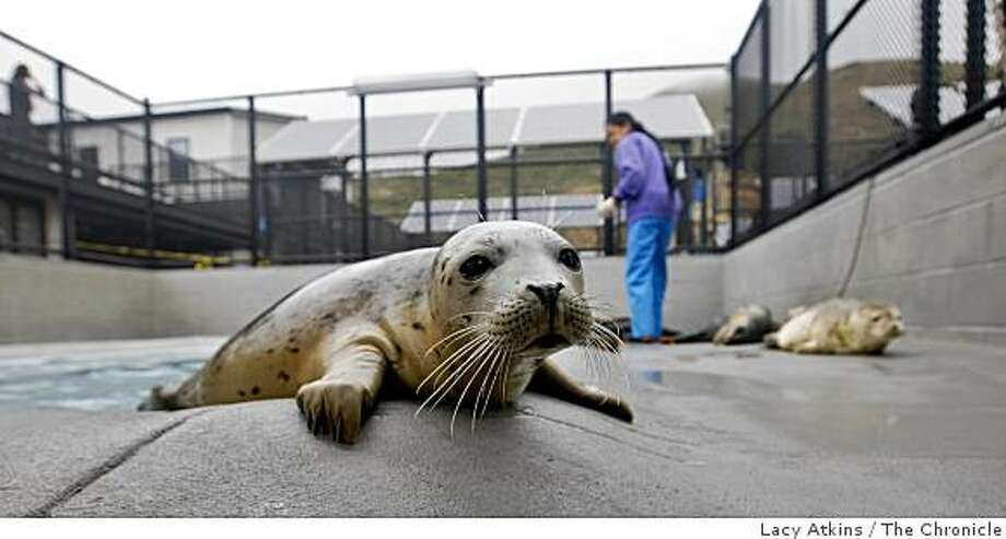 A young Harbar Seal pup looks things over as volunteer Stephanie Behasa feeds the others at the Marine Mammal Center, Monday June 1, 2009, in Sausalito, Calif. Photo: Lacy Atkins, The Chronicle
