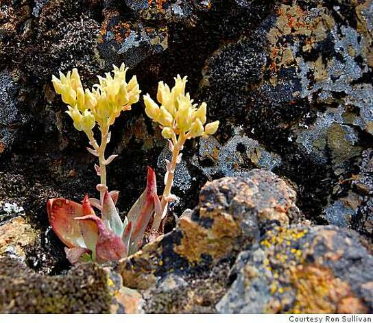 Wild dudleya growing on Mount Diablo Photo: Courtesy Ron Sullivan