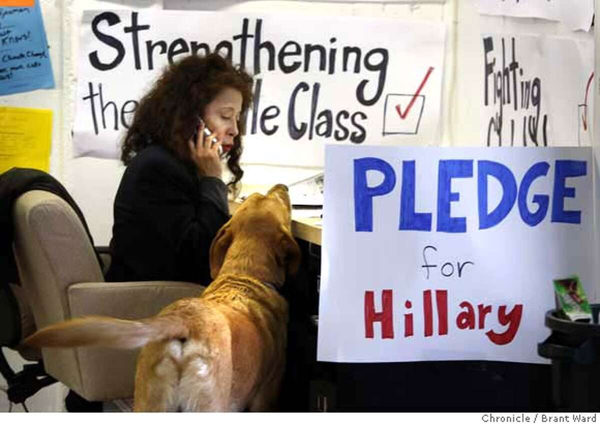 """Alice Ransom, a new volunteer for Hillary Clinton's campaign in San Francisco, made phone calls to prospective voters Wednesday, January 9th following Clinton's surprise victory in New Hampshire. She was often joined by """"Patton"""", a lab-mix owned by a campaign staff member, who thought Ransom was very interesting. {By Brant Ward/San Francisco Chronicle}"""