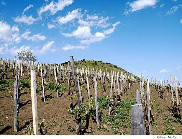 Vines in the vineyards of Vini Biondi on Mount Etna in Sicily.  The native Nerello Mascalese and Nerello Cappuccio grapes grow in extremely volcanic, sandy soil. Photo: Oliver McCrum