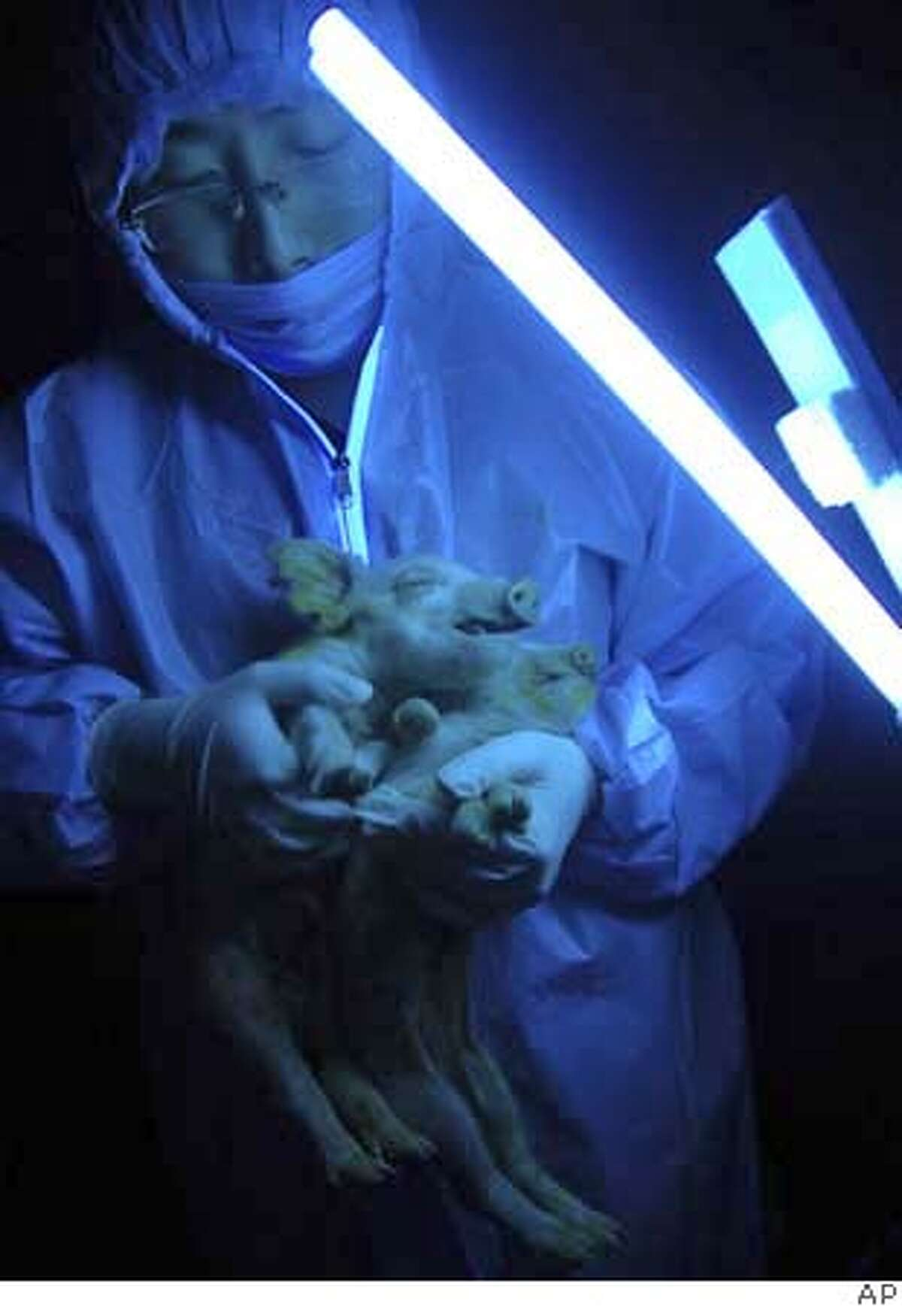 ** CORRECTS NAME OF COMPANY WHERE PHOTO WAS TAKEN ** A researcher holds up two piglets born from a cloned pig under ultraviolet light to show the fluorescent green glow from their snout, trotters, and tongue at the Harbin Sanyuan Animal Husbandry Industrial Company, a subsidiary institute of the Northeast Agricultural University in Harbin, northeastern China' Heilongjiang province, Monday, Jan 7, 2008. The cloned pig whose genes were altered to make it glow fluorescent green has passed on the trait to its young, a development that could lead to the future breeding of pigs for human transplant organs, the Northeast Agricultural University reported Tuesday.(AP Photo) ** CHINA OUT ** ** CORRECTS NAME OF COMPANY WHERE PHOTO WAS TAKEN ** CHINA OUT JAN 7, 2008 PHOTO