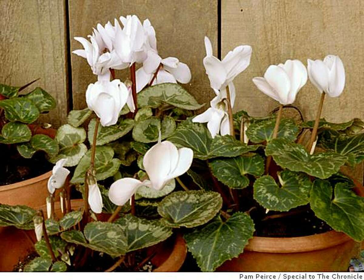Photos are by Pam Peirce.Images are of scented semi-dwarf Cyclamen persicum hybrids growing in pots.