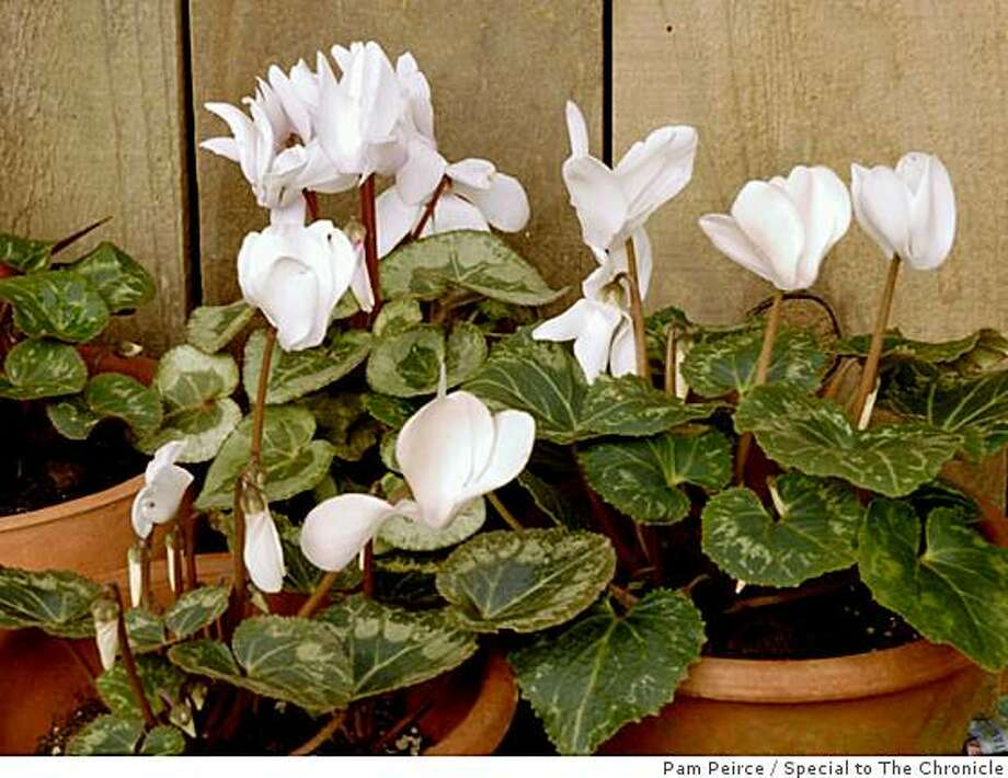 Say it with flowers: If you can pull it off undetected, secretly plant a group of cyclamen and then walk your sweetie out to the garden to discover them. Photo: Pam Peirce, Special To The Chronicle