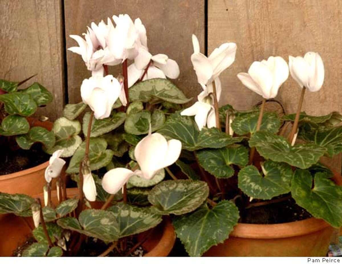 Photos are by Pam Peirce. Images are of scented semi-dwarf Cyclamen persicum hybrids growing in pots.