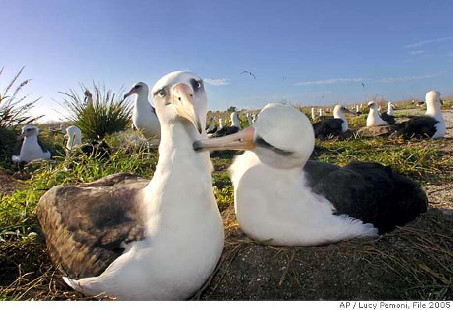 A Laysan albatross grooms his mate while incubating their egg on Eastern Island one of the three islands of the Midway Atoll National Wildlife Refuge, Tuesday, Dec. 13, 2005. The Laysan albatross mate for life, live for about 50 years and have nests which can be found most anywhere on the Midway Atoll. (AP Photo/Lucy Pemoni) Photo: LUCY PEMONI