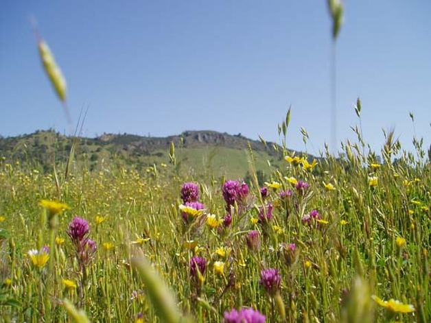 Caption: Wildflowers at the Rooster Comb formation, Henry W. Coe State Park.  Credit: Chris Turner  Ran on: 04-22-2007  The wildflowers at the Rooster Comb formation have only been accessible to hardcore outdoors backpackers, mountain bikers and horseback riders the last 50 years. Photo: Chris Turner