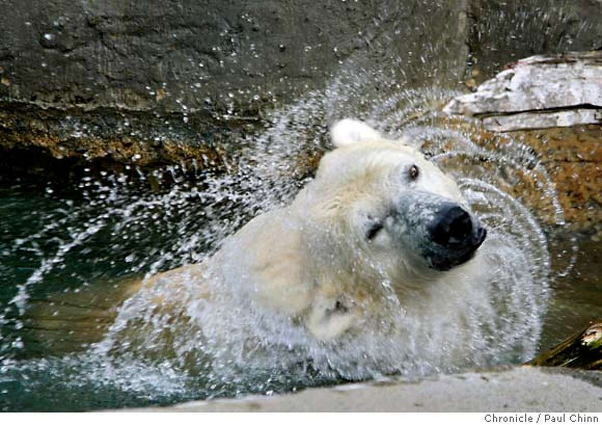 Ulu the polar bear shakes water out of her fur while taking a dip in the pond of her outdoor enclosure at the San Francisco in San Francisco, Calif. on Friday, Jan. 11, 2008. Sources confirmed that Ulu nearly scaled a wall of her grotto last Thursday prompting zoo officials to quickly raise the height of the wall by adding a chain link fence. MANDATORY CREDIT FOR PHOTOGRAPHER AND S.F. CHRONICLE/NO SALES - MAGS OUT