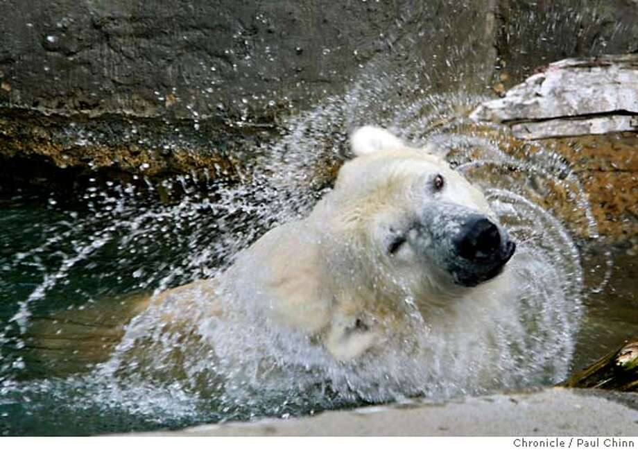 Ulu the polar bear shakes water out of her fur while taking a dip in the pond of her outdoor enclosure at the San Francisco in San Francisco, Calif. on Friday, Jan. 11, 2008. Sources confirmed that Ulu nearly scaled a wall of her grotto last Thursday prompting zoo officials to quickly raise the height of the wall by adding a chain link fence. MANDATORY CREDIT FOR PHOTOGRAPHER AND S.F. CHRONICLE/NO SALES - MAGS OUT Photo: PAUL CHINN