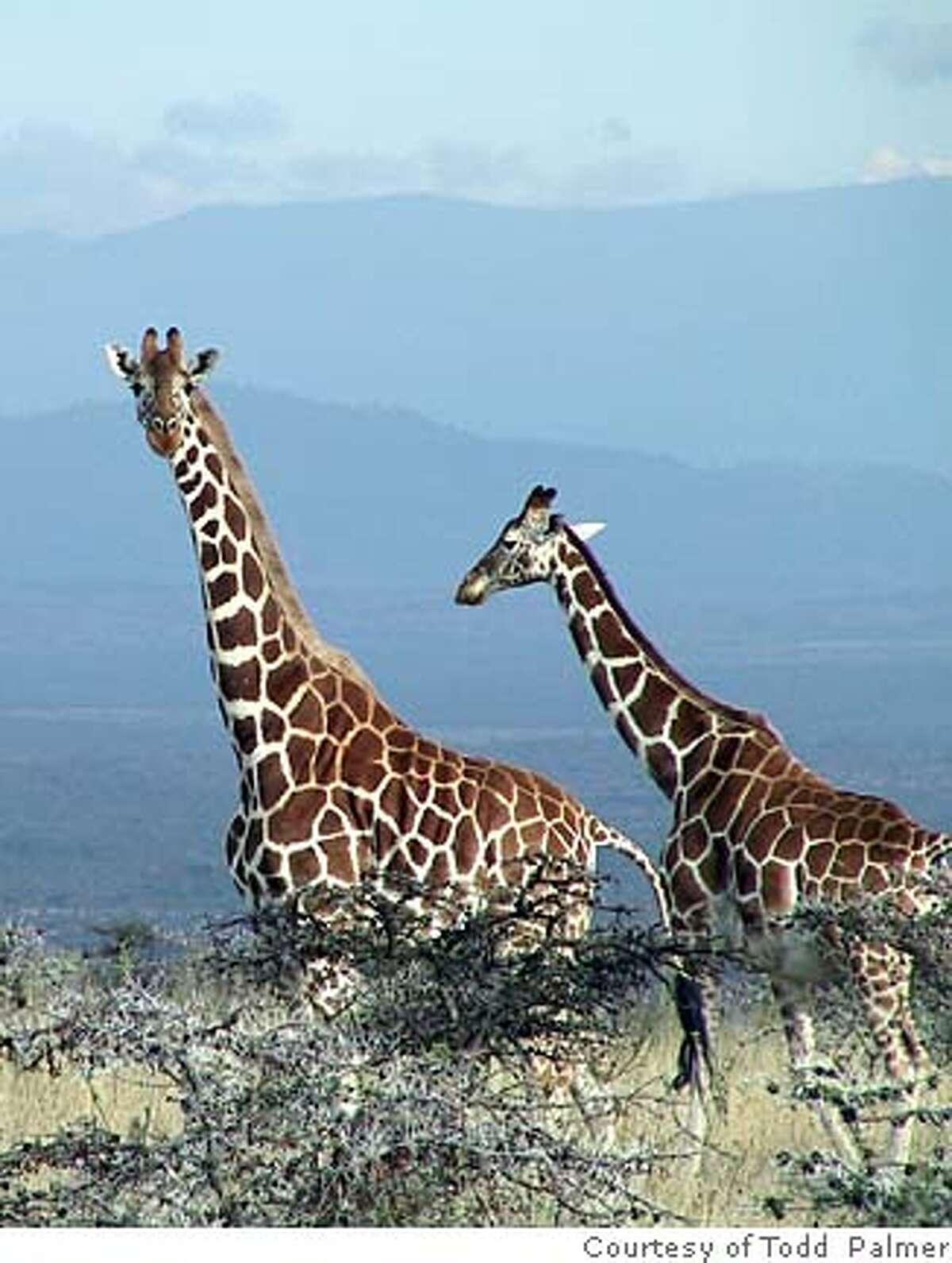 Giraffes around the ant-plant, Acacia drepanolobium. [Image courtesy of Todd Palmer]