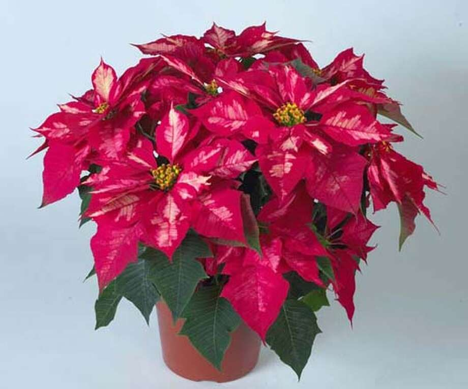 Poinsettia: In the Bay Area they can grow outside in the ...