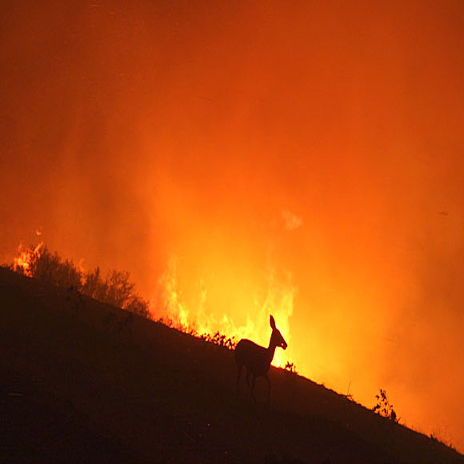 "A Facebook post making the rounds in Northern California warns, ""Please be aware that wild animals are fleeing the fires and they may show up in your yards,"" and urges people to leave out a bucket of water for the creatures. A California Fish and Wildlife spokesperson says that's actually not sound advice. Above: A deer flees from a wildfire near Malibu, Calif., early Saturday, Nov. 24, 2007, aS fires scorched the area. (AP Photo/Craig Durling) 
