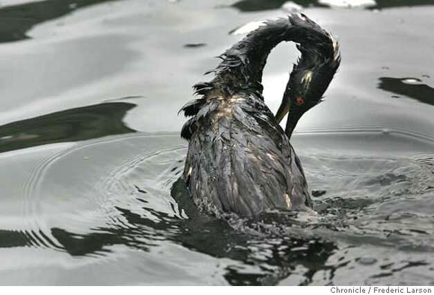 A Western Grebe covered in oil at Fort Baker cove in Sausalito from yesterday 11/7 accident at the Bay Bridge.  11/8/07  {Photographed by Frederic Larson} MANDATORY CREDIT FOR AND SAN FRANCISCO CHRONICLE/NO SALES-MAGS OUT Photo: Frederic Larson