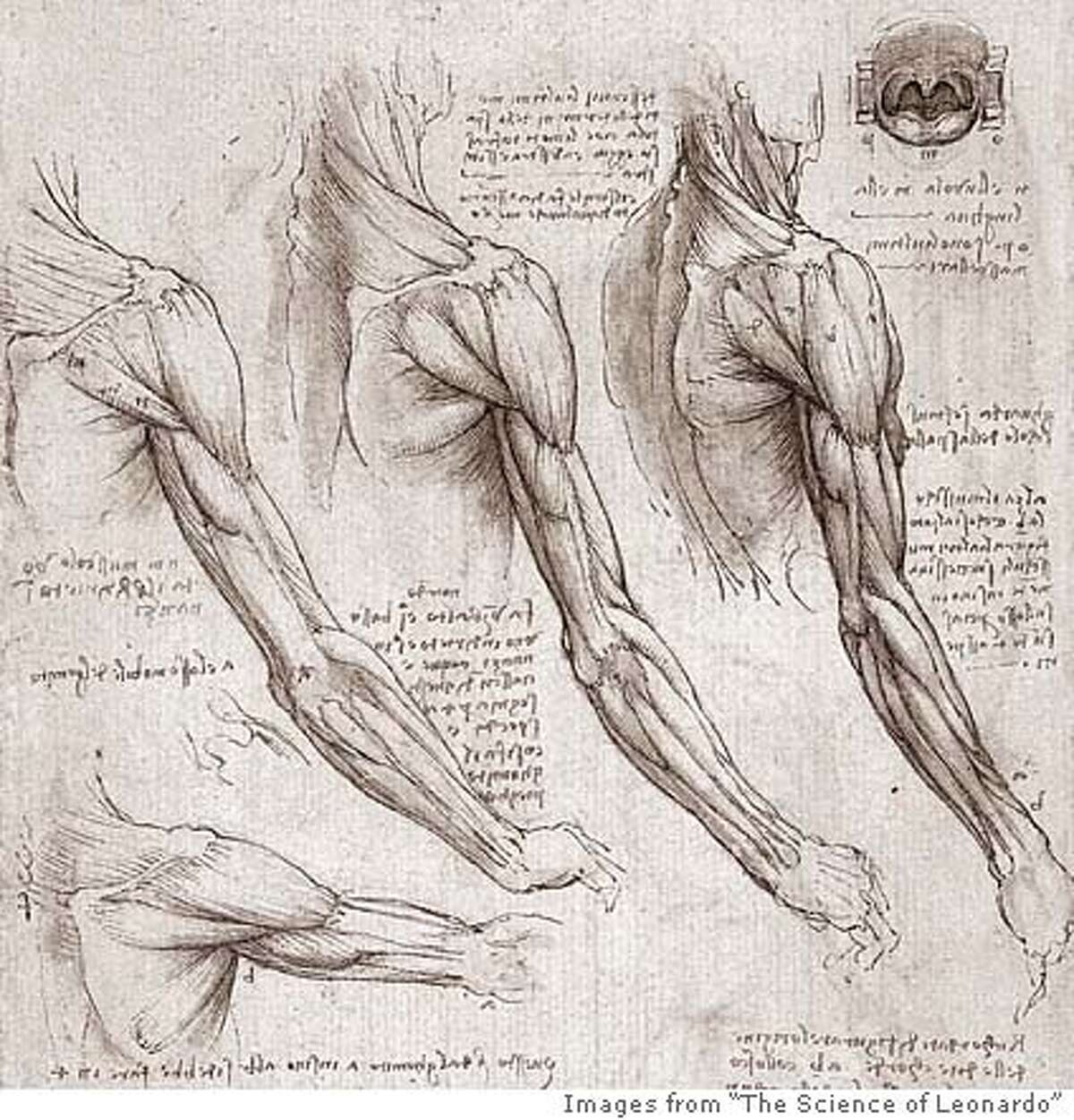 Muscles of the arm and shoulder in rotated views (detail), circa 1510, Anatomical Studies, folio 141v.