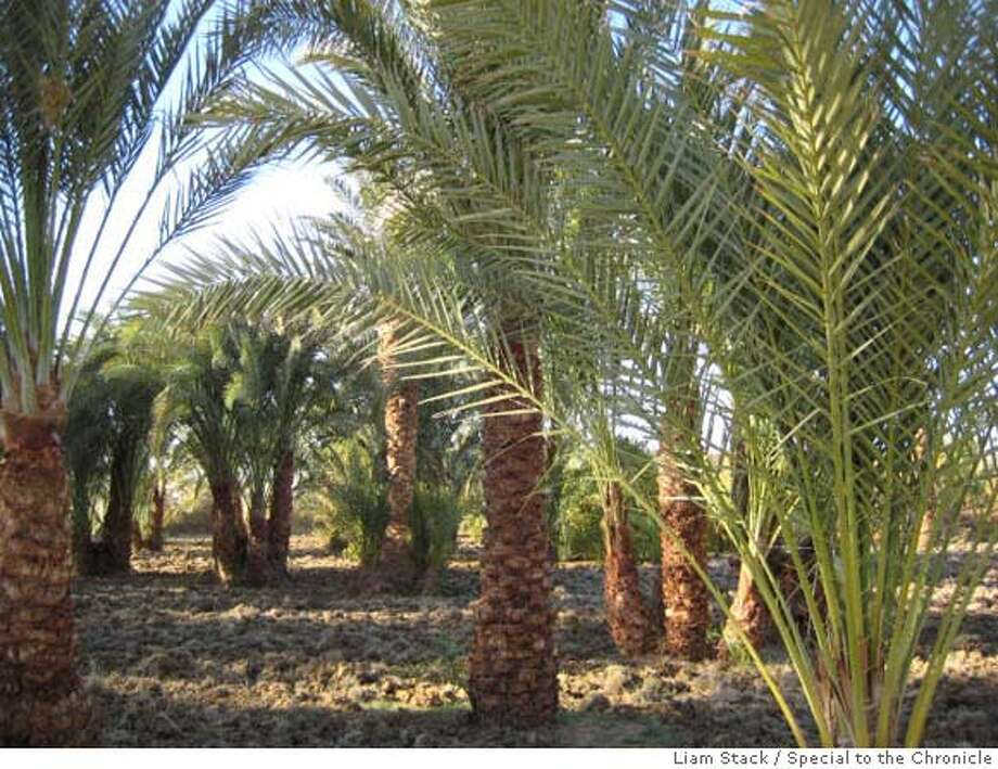 Farmers in Abu Minqar grow crops such as these date palms and lemon trees on land that was once desert. Liam Stack / MANDATORY CREDIT FOR PHOTOG AND SAN FRANCISCO CHRONICLE/NO SALES-MAGS OUT Photo: Liam Stack