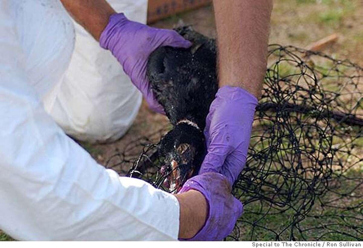 Retrieving an oil-covered bird from the net