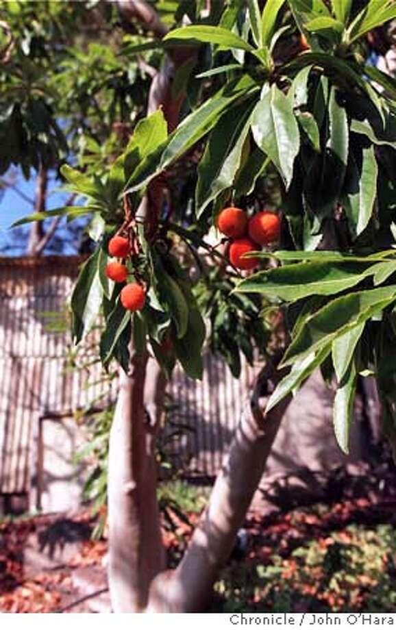 SEEDPODS1/C/19SEP95/HM/JO'H Strawberry tree (arbutus) - UC Botanical Garden - UC Berkeley PHOTO BY JOHN O'HARA Photo: JOHN O'HARA