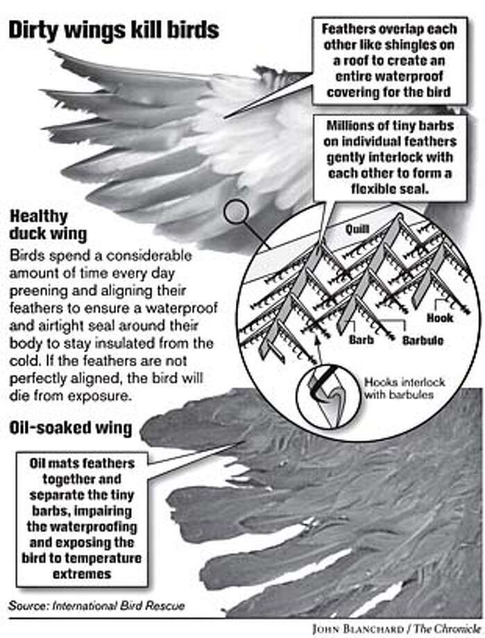Dirty wings kill birds. Chronicle graphic by John Blanchard