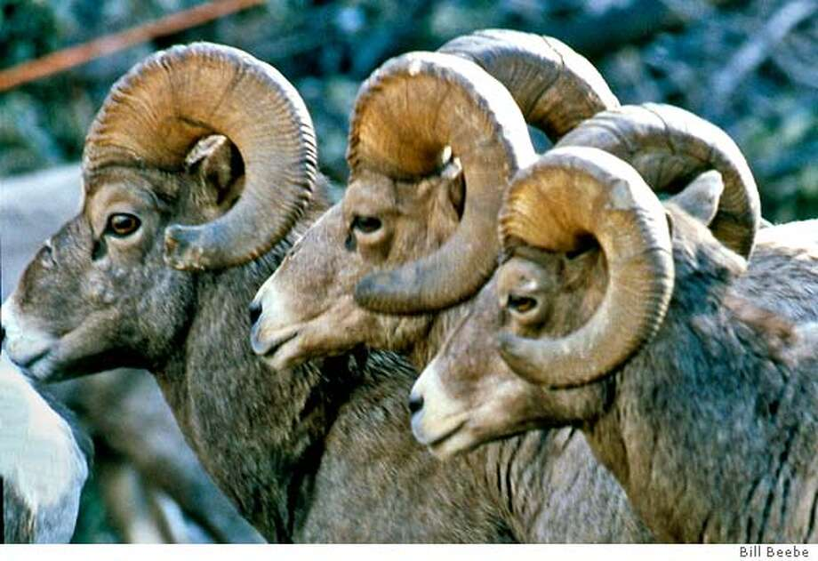 BIGHORNSHEEP  Three rams in row: Mature bighorn (Canadensis nelsoni) rams may weigh as much as 280 pounds and sport massive horns that weigh up to 30 pounds. Much of the year they live separately from females and young in bachelor herds, but gather during the November-December rutting (mating) period.Photos by Bill Beebe Photo: LI