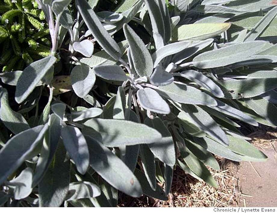 The blue-gray sage leaves contrast with the yellower gree of a Greek oregano plant in the herb garden. Photo: Lynette Evans